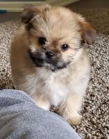 Pomeranian Puppies for sale in Redlands, CA, USA. price: NA