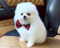 Pomeranian Puppies for sale in West Hollywood, CA 90046, USA. price: NA