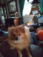 Pomeranian Puppies for sale in Fayetteville, GA, USA. price: NA