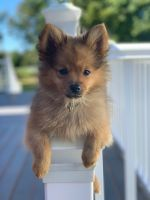 Pomeranian Puppies for sale in Rocky Hill, CT 06067, USA. price: NA