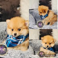Pomeranian Puppies for sale in Chicago, IL, USA. price: NA