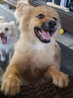 Pomeranian Puppies for sale in Polk City, FL 33868, USA. price: NA