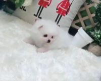 Pomeranian Puppies for sale in Cleveland, OH, USA. price: NA