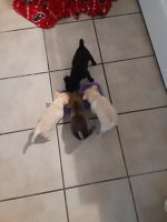 Pomeranian Puppies for sale in Midland, TX, USA. price: NA
