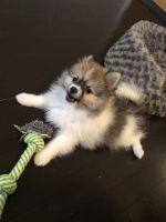 Pomeranian Puppies for sale in Township of Washington, NJ 07676, USA. price: NA