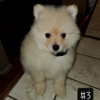 Pomeranian Puppies for sale in Paramount, CA, USA. price: NA