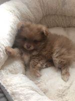 Pomeranian Puppies for sale in Orlando, FL, USA. price: NA
