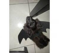 Pomeranian Puppies for sale in 16030 NE 19th Ct, North Miami Beach, FL 33162, USA. price: NA