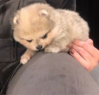 Pomeranian Puppies for sale in Somerville, MA, USA. price: NA