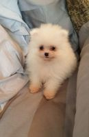 Pomeranian Puppies for sale in White Plains, NY, USA. price: NA