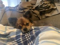 Pomeranian Puppies for sale in Philadelphia, PA, USA. price: NA