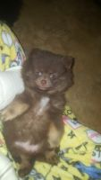 Pomeranian Puppies for sale in Glendale, AZ, USA. price: NA