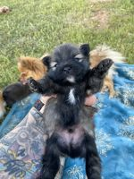 Pomeranian Puppies for sale in Odessa, TX, USA. price: NA