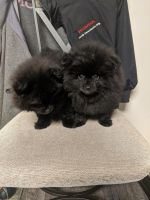Pomeranian Puppies for sale in St Paris, OH 43072, USA. price: NA