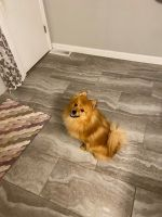 Pomeranian Puppies for sale in Indianapolis, IN, USA. price: NA