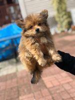 Pomeranian Puppies for sale in Perth Amboy, NJ, USA. price: NA