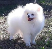 Pomeranian Puppies for sale in California City, CA, USA. price: NA