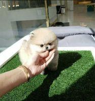 Pomeranian Puppies for sale in Orange County, CA, USA. price: NA