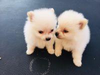 Pomeranian Puppies for sale in Covina, CA, USA. price: NA