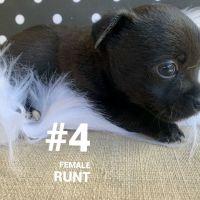 Pomeranian Puppies for sale in Smyrna, GA, USA. price: NA