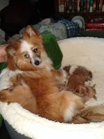 Pomeranian Puppies for sale in Woodbury Heights, NJ, USA. price: NA