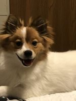 Pomeranian Puppies for sale in Warrenton, MO 63383, USA. price: NA
