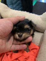 Pomeranian Puppies for sale in Tacoma, WA, USA. price: NA