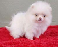 Pomeranian Puppies for sale in Louisiana St, Houston, TX, USA. price: NA