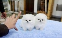 Pomeranian Puppies for sale in San Francisco, CA 94102, USA. price: NA