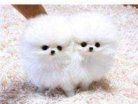 Pomeranian Puppies for sale in Birmingham, AL 35201, USA. price: NA