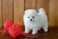 Pomeranian Puppies for sale in 1354 N G St, San Bernardino, CA 92405, USA. price: NA