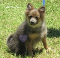 Pomeranian Puppies for sale in Elkland, MO 65644, USA. price: NA