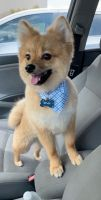 Pomeranian Puppies for sale in 1114 Orchard Hill Dr, Winchester, VA 22601, USA. price: NA
