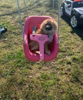 Pomeranian Puppies for sale in Ripley, NY 14775, USA. price: NA