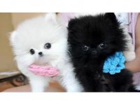 Pomeranian Puppies for sale in Chicago, IL 60601, USA. price: NA
