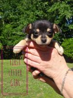 Pomeranian Puppies for sale in Magee, MS, USA. price: NA
