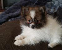 Pomeranian Puppies for sale in Endicott, NY 13760, USA. price: NA