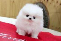 Pomeranian Puppies for sale in Miami, FL, USA. price: NA