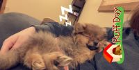 Pomeranian Puppies for sale in Durant, OK, USA. price: NA