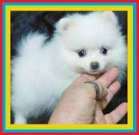 Pomeranian Puppies for sale in Baton Rouge, LA, USA. price: NA