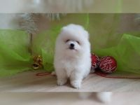 Pomeranian Puppies for sale in Oakland, CA, USA. price: NA