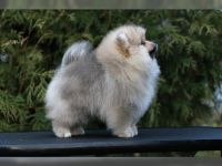 Pomeranian Puppies for sale in Las Vegas Convention Center, 3150 Paradise Rd, Las Vegas, NV 89109, USA. price: NA