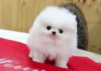 Pomeranian Puppies for sale in Jackson, MS, USA. price: NA