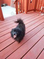 Pomeranian Puppies for sale in North Tonawanda, NY 14120, USA. price: NA