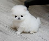 Pomeranian Puppies for sale in Lancaster, PA, USA. price: NA