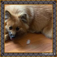 Pomeranian Puppies for sale in Dundalk, MD 21222, USA. price: NA
