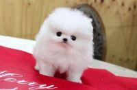 Pomeranian Puppies for sale in Albany, NY, USA. price: NA