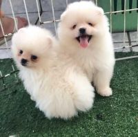 Pomeranian Puppies for sale in San Francisco, CA, USA. price: NA