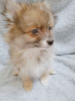 Pomeranian Puppies for sale in Kent, WA, USA. price: NA