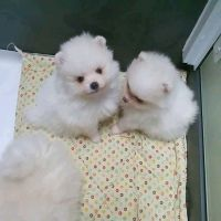 Pomeranian Puppies for sale in Long Beach, CA, USA. price: NA